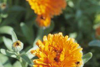 Blomme wat goed is om onder groente te plant