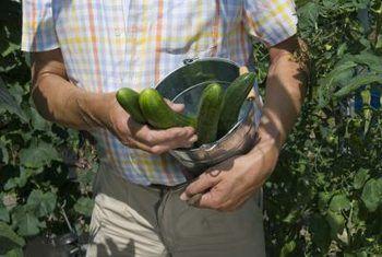 Hoe om die rypwording van komkommers te verbeter