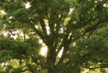 Hoe om houtbaas te verwyder om `n boom dood te maak