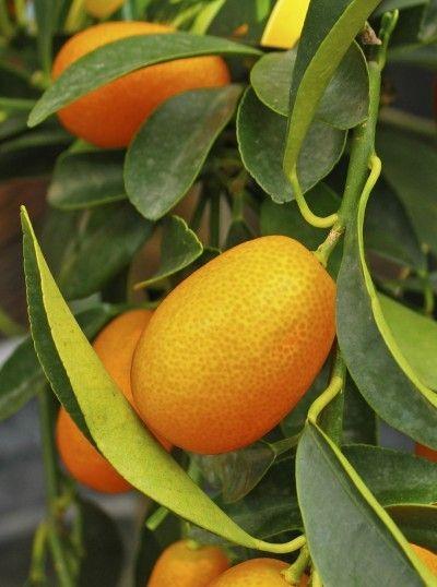 Picking kumquats - wenke oor die oes van `n kumquatboom