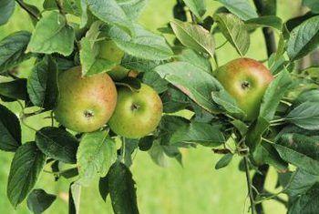 Antieke erfgoed appelbome